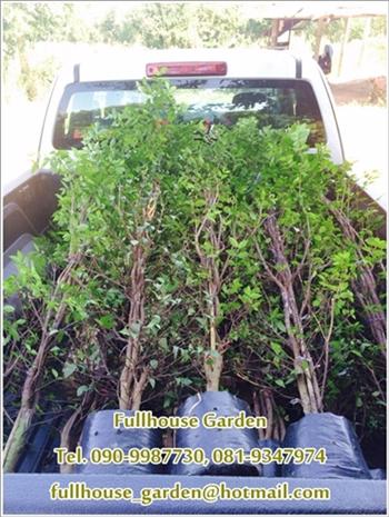 จำหน่ายต้นโมกไว้สำหรับตกแต่งสวน ทำรั้ว ส่วนหย่อม ราคาย่อมเยาว์